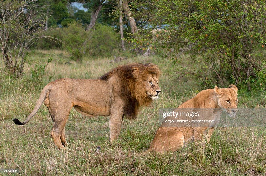 Lion pair (Panthera leo), Masai Mara National Reserve, Kenya, East Africa, Africa : Stock Photo