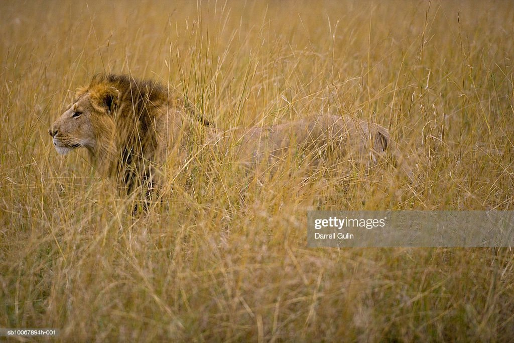 Lion, Panthera leo, in tall grasses : Stock Photo