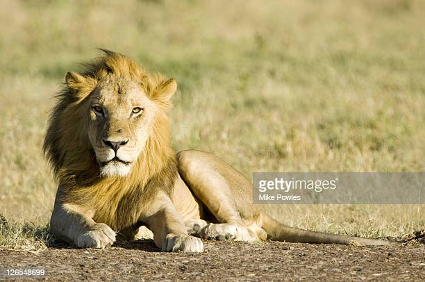 Lion, Panthera leo, male Kalahari lion resting, Central Kalahari Game Reserve, Botswana