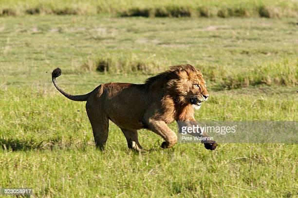 Lion -Panthera leo-, running, Ngorongoro Crater, Ngorongoro Conservation Area, Tanzania, Africa