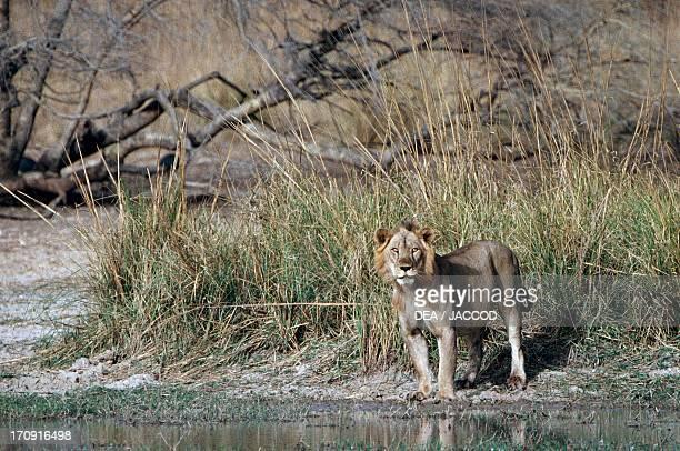 Lion Pendjari National Park Benin