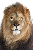 Closeup portrait of the beautiful male Lion