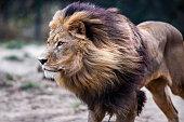 Lion running.
