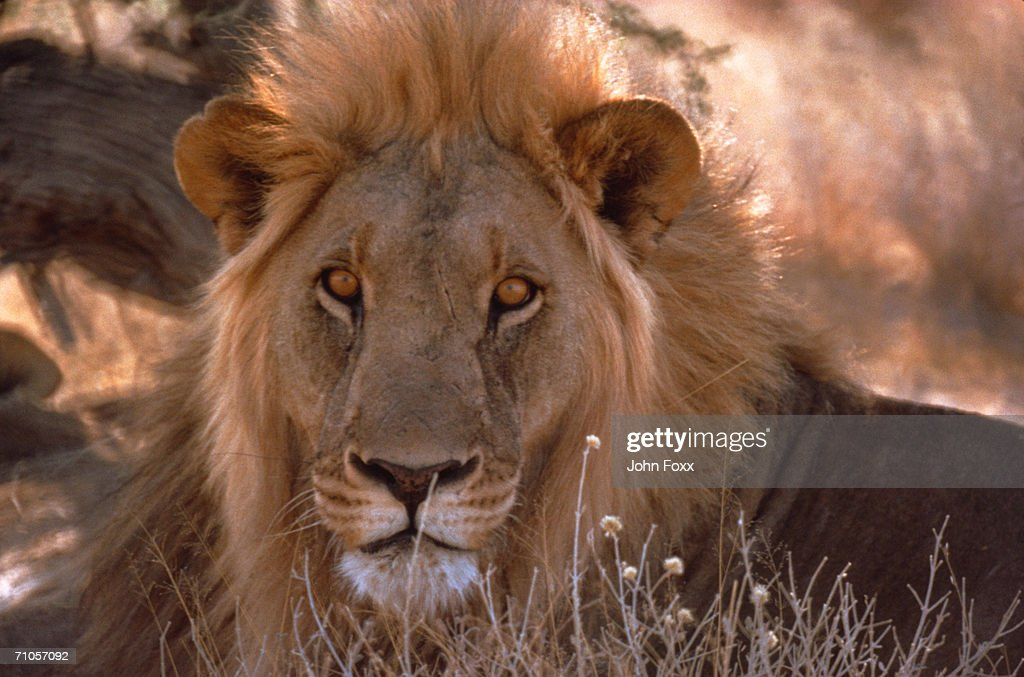 lion : Stock Photo