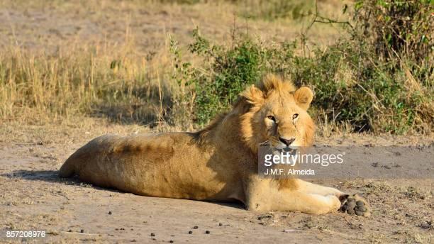 Lion (Panthera leo nubica)