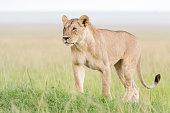 Lion (Panthera leo) standing in savannah, Masai Mara, Kenya