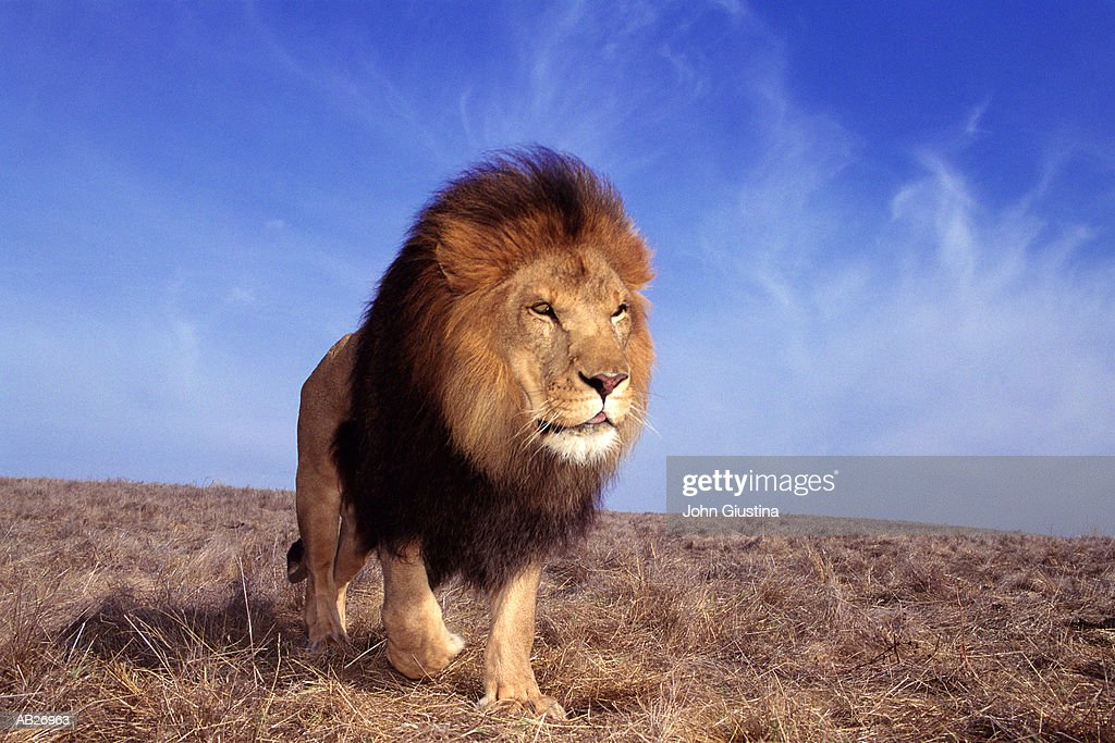 Lion (Panthera leo) : Stock Photo