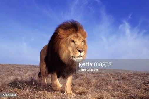 Lion (Panthera leo) : ストックフォト
