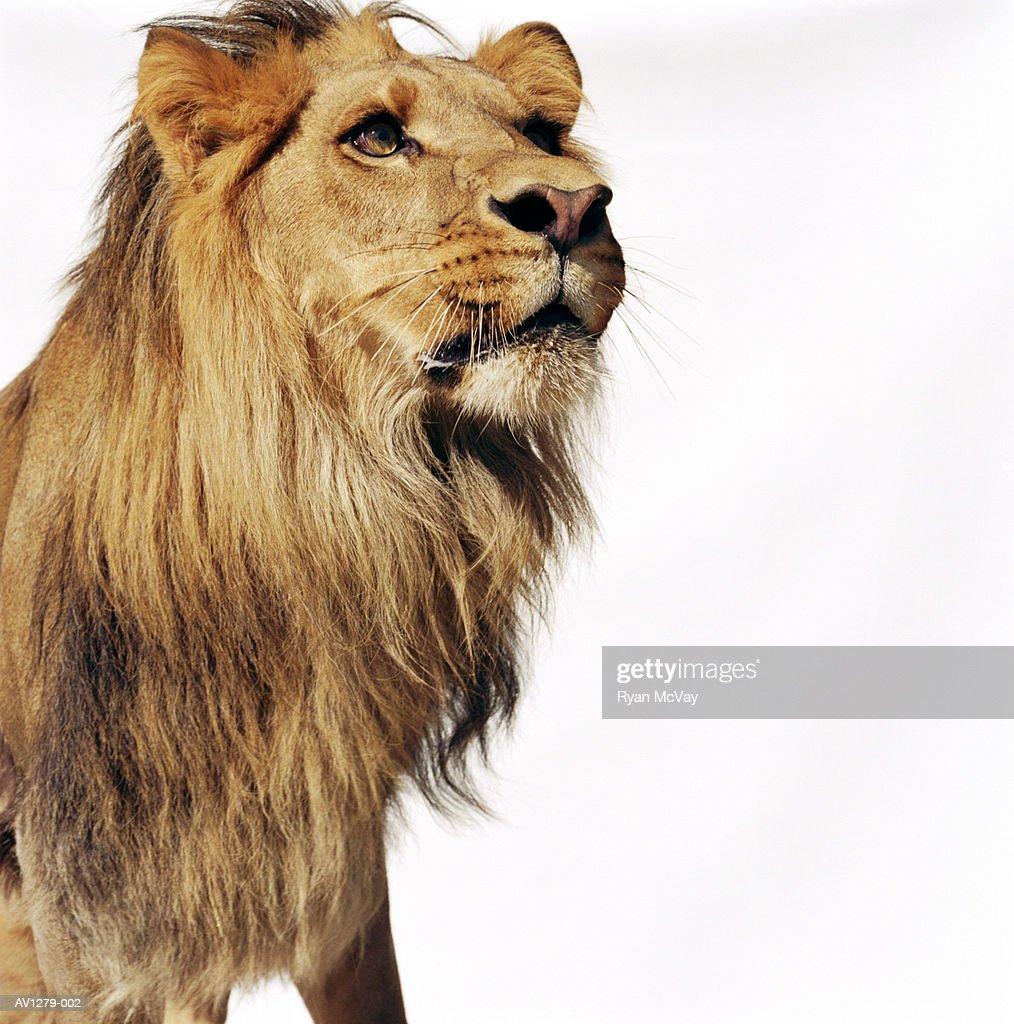 Lion (Panthera leo) : Stock Photo
