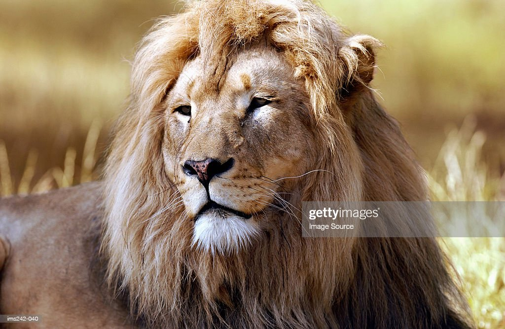 Lion : Stock Photo
