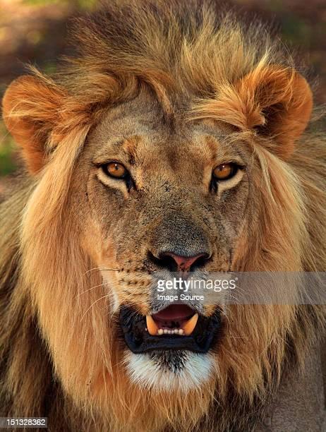 Lion portrait, Kgalagadi Transfrontier Park, Africa