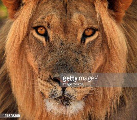 Lion portrait, Kgalagadi Transfrontier Park, Africa : Stock Photo
