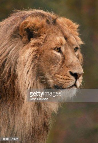 Lion Portrait : Stock Photo
