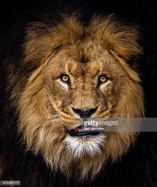 Lion Photos Et Images De Collection Getty Images