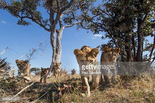 Lion Pride Approaching Camera, Botswana