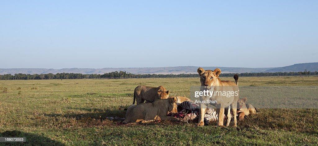 Lion pride feeding on a zebra kill : Stock Photo