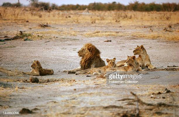 Lion Pride Kgalagadi Transfrontier Park South Africa