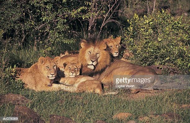 Lion Pride (Panthera leo), Mara