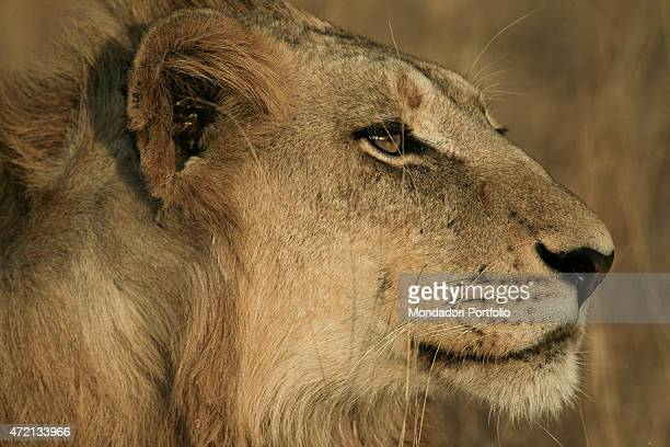 'Lion profile of a young male Londolozi Reserve next to Kruger National Park South Africa Africa August 2014 '