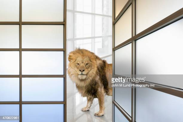 Lion prowling in office