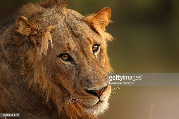 A lion relaxes on the banks of the Luvuvhu river at the Pafuri game reserve on July 21 2010 in Kruger National Park South Africa Kruger National Park...