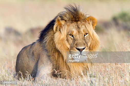 Lion resting, Masai Mara, Kenya