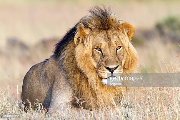 Lion au repos, Masai Mara, Kenya