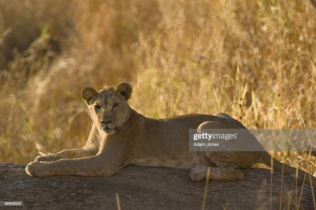 Lion resting on fallen tree : Stock Photo