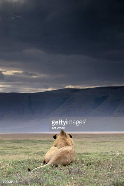 Lion (Panthera leo) resting under stormy sky, rear view, Tanzania