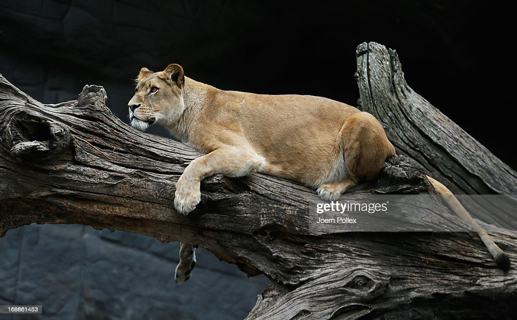 A lion rests in its enclosure at Hagenbeck zoo on May 16, 2013 in Hamburg, Germany.