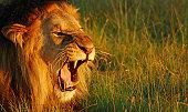Lion roaring at sunset