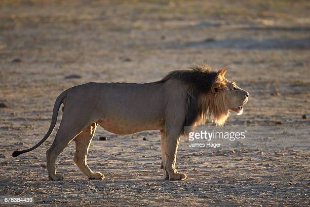 Lion (Panthera leo) roaring, Kgalagadi Transfrontier Park, encompassing the former Kalahari Gemsbok National Park, South Africa, Africa
