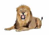 Lion in front of a white background.