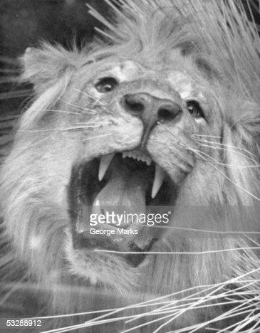 Lion roaring : ストックフォト