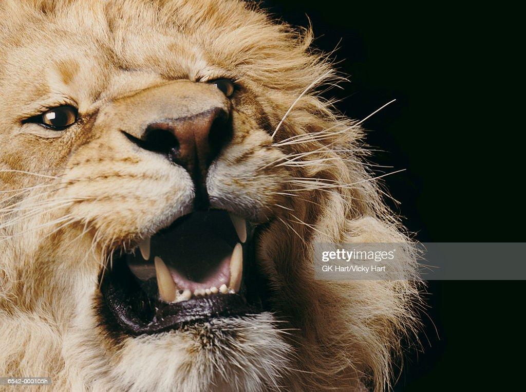 Lion Roaring : Stock Photo