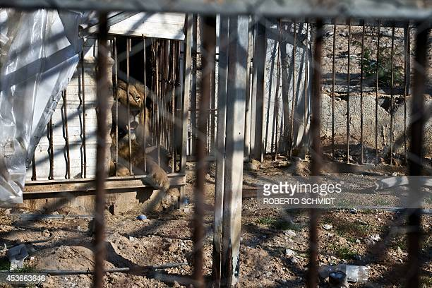 A lion roars from inside his cage at the Bisan City tourist village zoo in Beit Hanun on August 14 2014 The zoo part of AlBisan City was built by the...