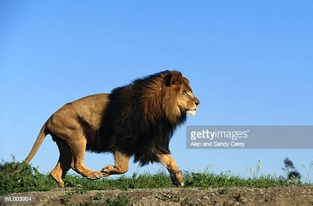 Lion (Panthera leo) running