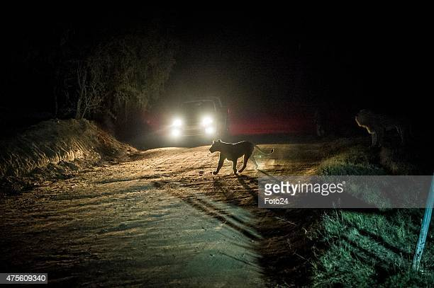 A lion seen at the Lion Park on June 1 2015 in Johannesburg South Africa An American tourist was killed and her tour guide seriously injured in an...