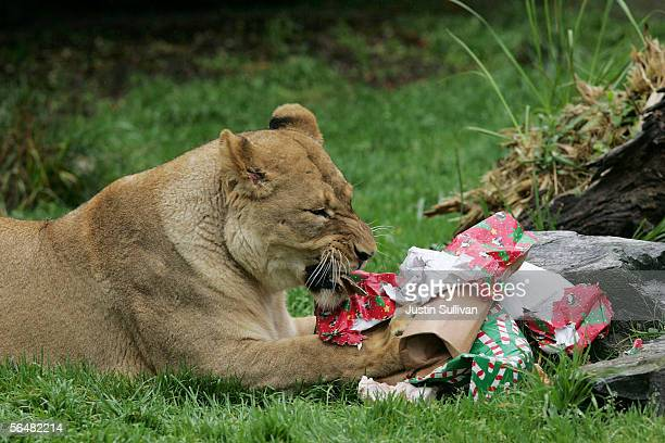 A lion shreds wrapping paper off of boxes filled with treats at the San Francisco Zoo December 22 2005 in San Francisco California Zoo animals...