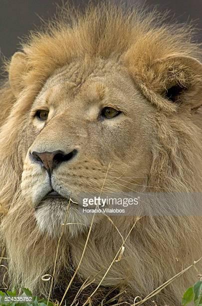 A lion sits in the sun at the Zoo de Vincennes in Paris