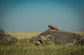 Lion sits on rock over looking his domain