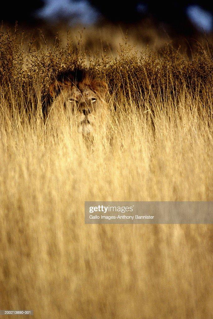Lion (Panthera leo) sittiing in long grass