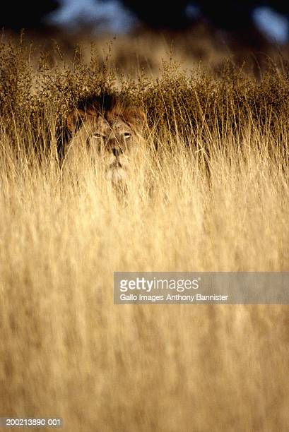 Lion (Panthera leo) sittiing in long grass