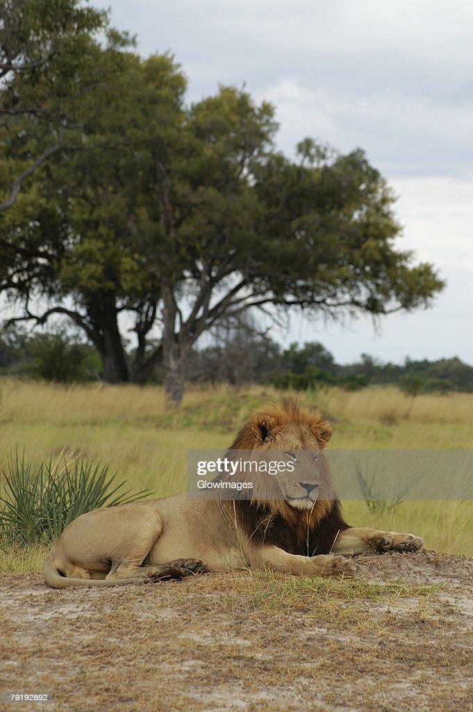Lion (Panthera leo) sitting in a forest, Okavango Delta, Botswana : Stock Photo