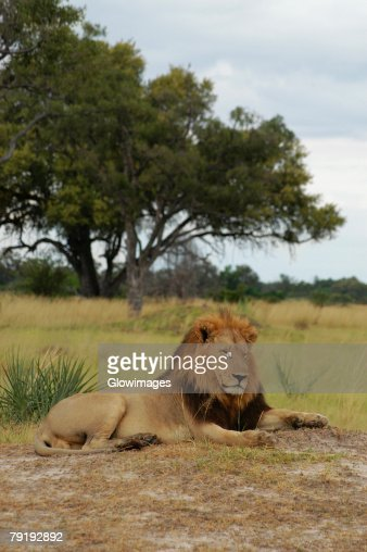 Lion (Panthera leo) sitting in a forest, Okavango Delta, Botswana : Stock Photo