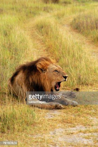 Lion (Panthera leo) sitting in a path and yawning, Okavango Delta, Botswana : Stock Photo