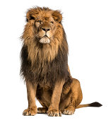 Lion sitting, looking away, Panthera Leo, 10 years old, isolated on white