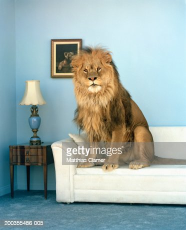 Lion sitting on couch : Stock-Foto