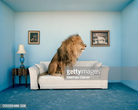 Lion sitting on couch, side view