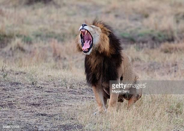 Lion sitting, roaring, Panthera Leo, Masai Mara